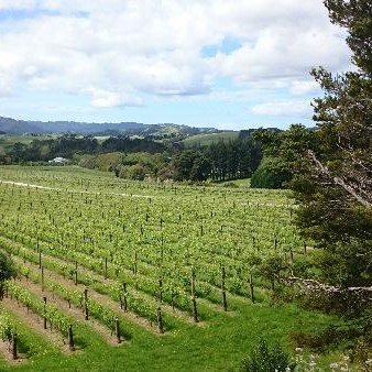 Matakana Estate vineyard matakana